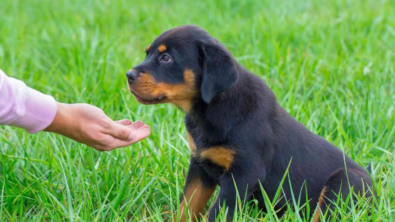 anjing rottweiler berasal dari negara