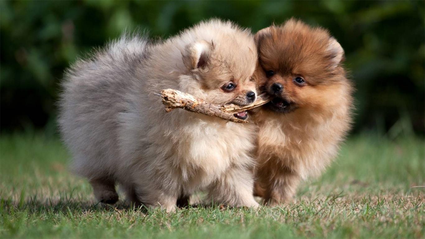 anjing super mini pom