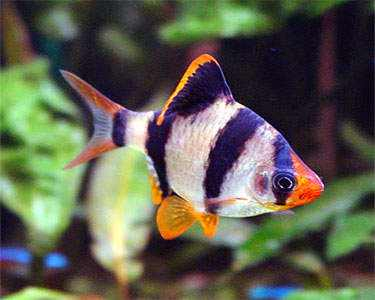 Ikan Sumatra Ciri Ciri Makanan Dan Cara Budidaya