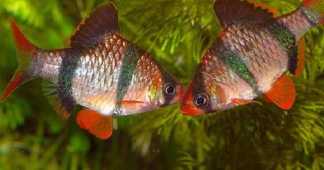 cara budidaya ikan sumatera