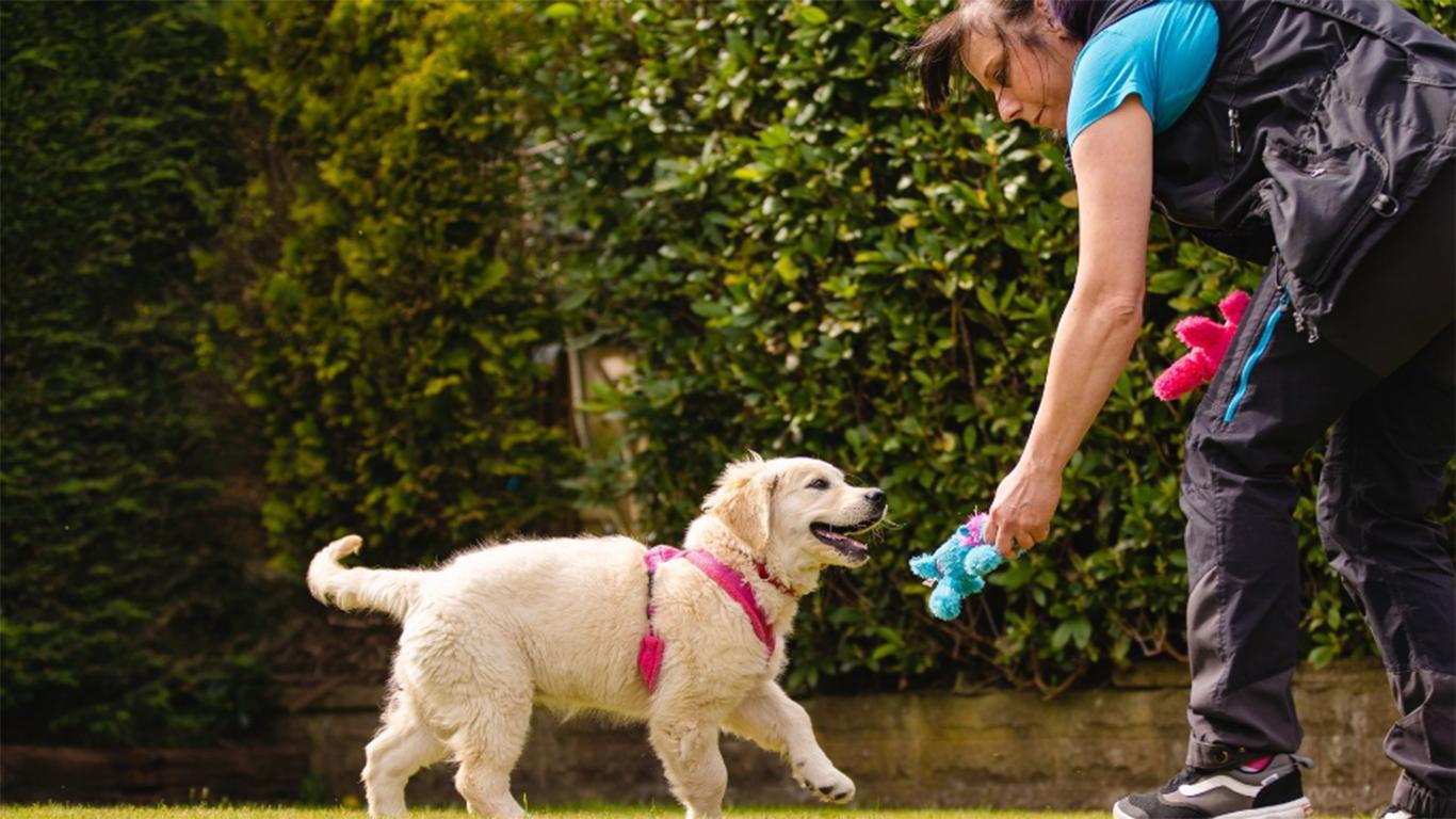 cara melatih anjing golden