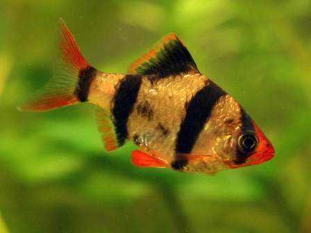 how to raise clown fish
