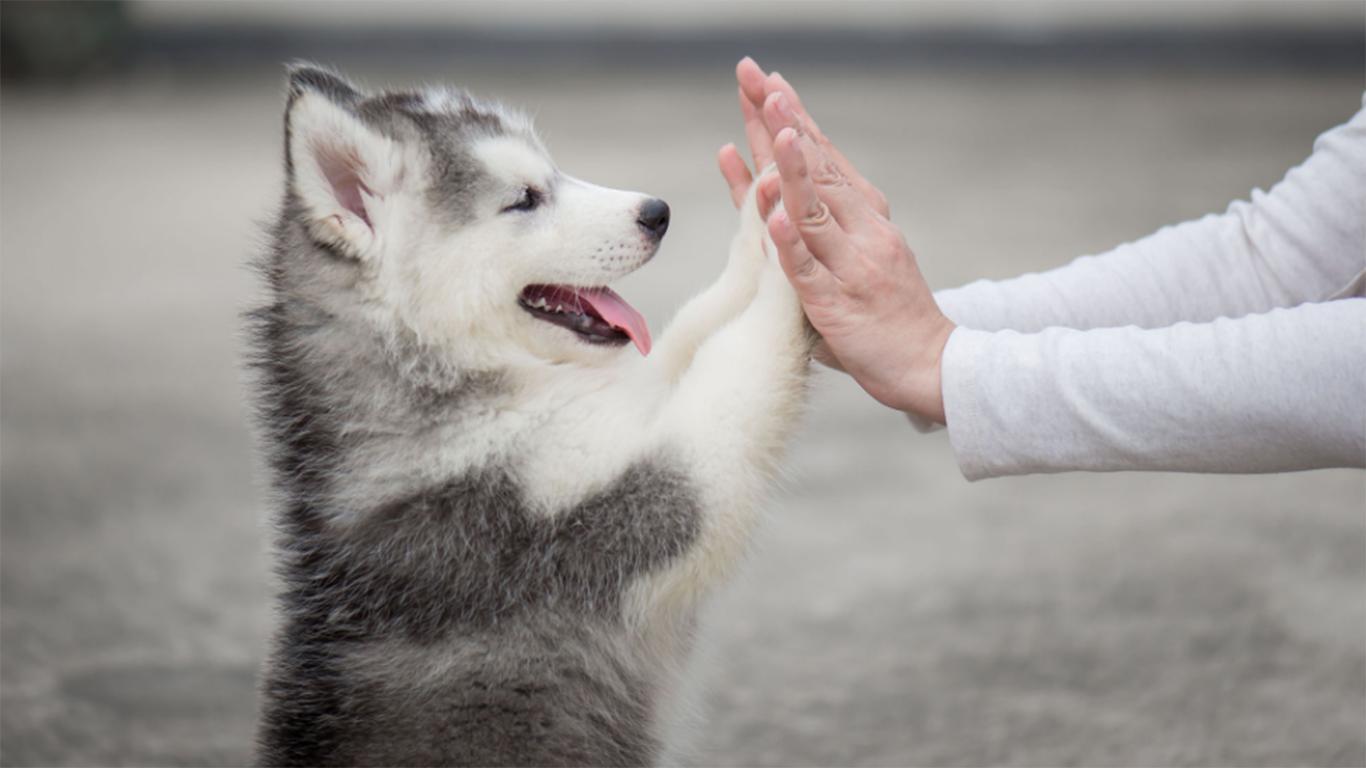 cara merawat anjing shih tzu