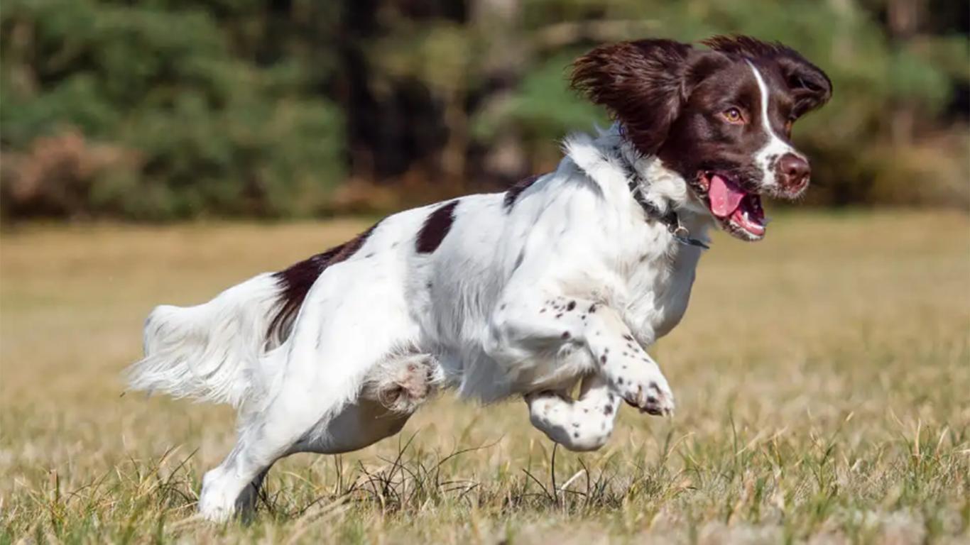 ciri ciri anjing pemburu
