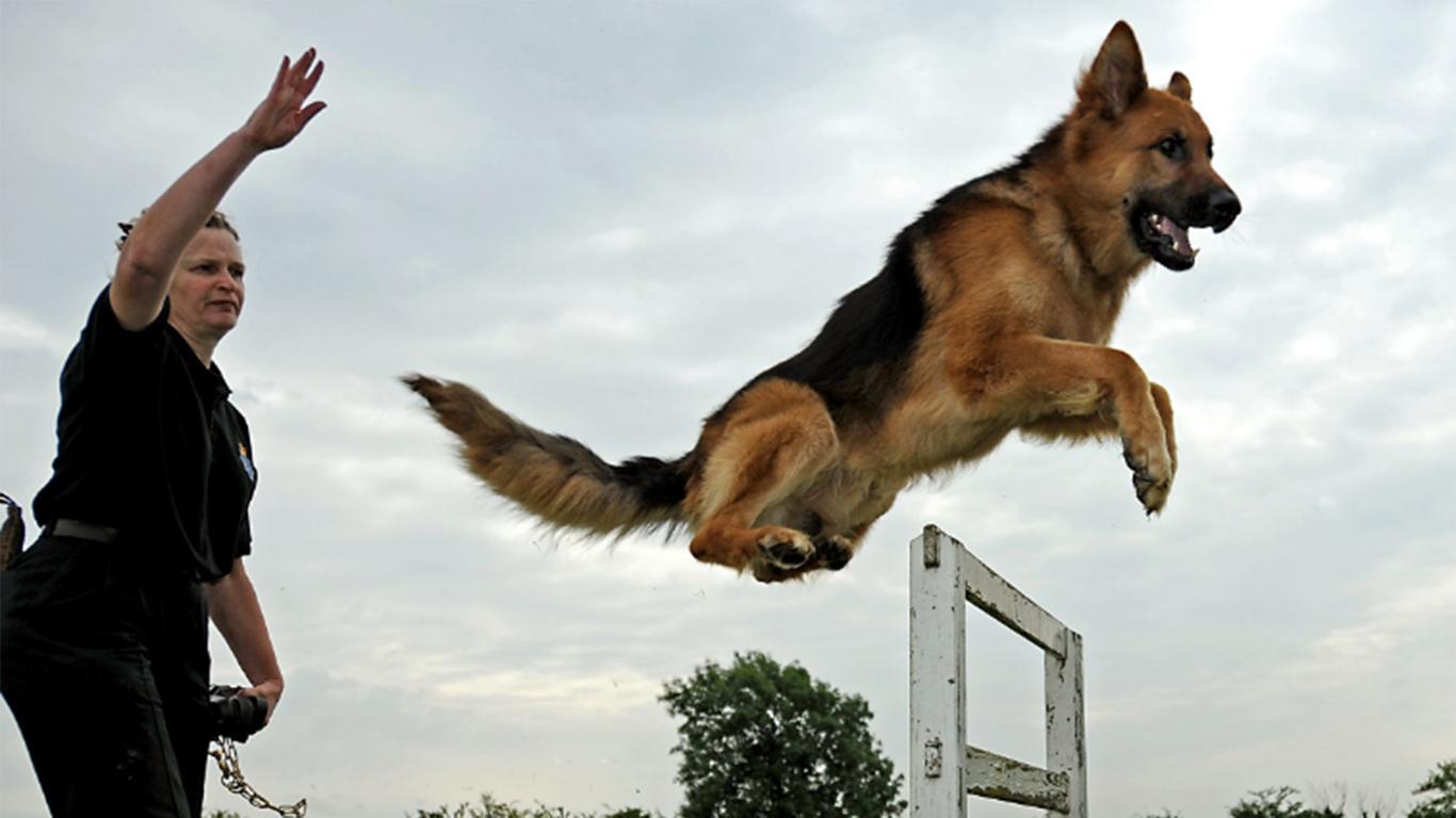 foto anjing pemburu