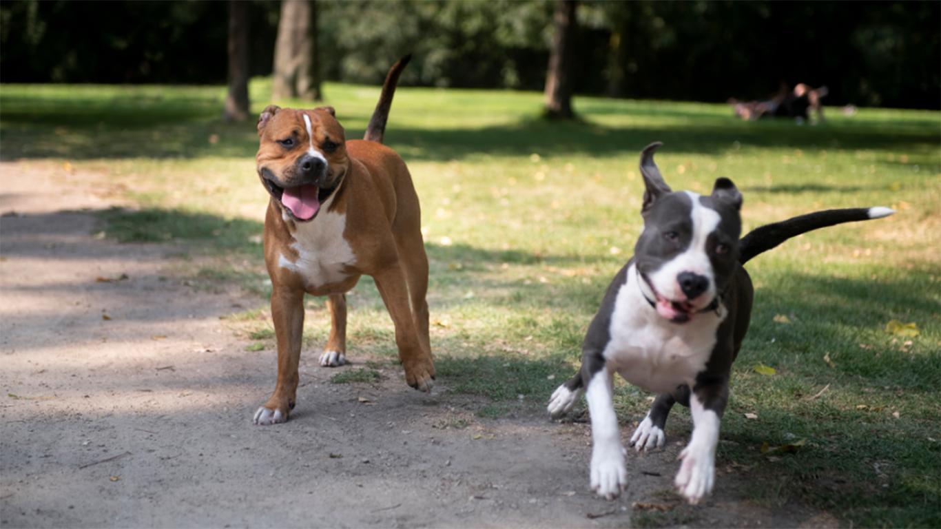 foto anjing pitbul