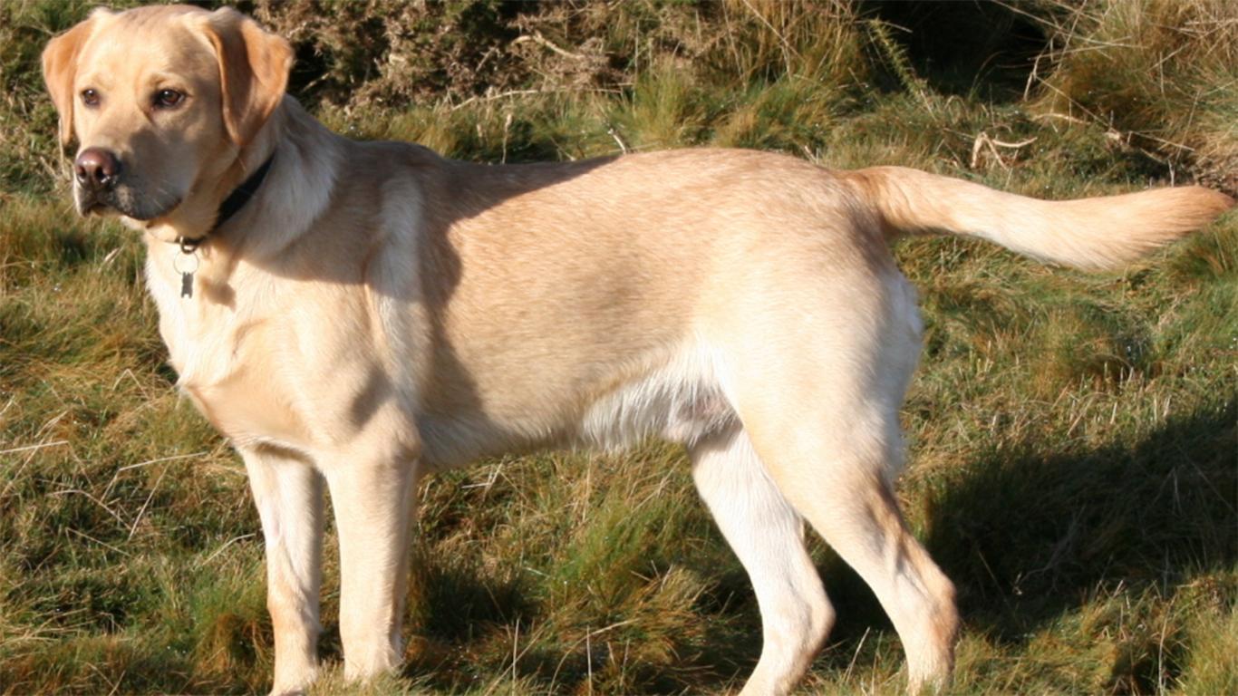 gambar anjing pemburu