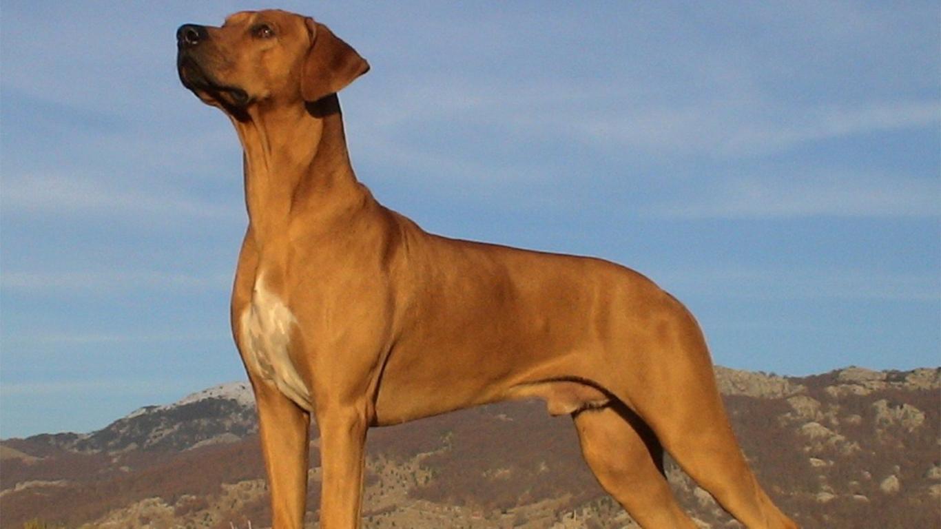 gambar anjing penjaga