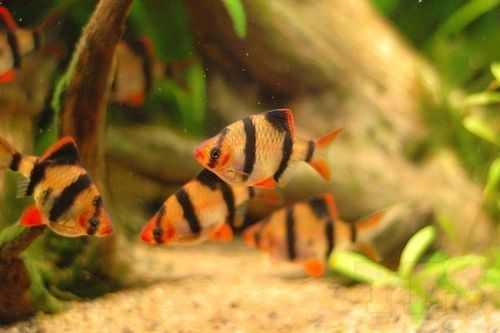 the tiger barb's natural habitat