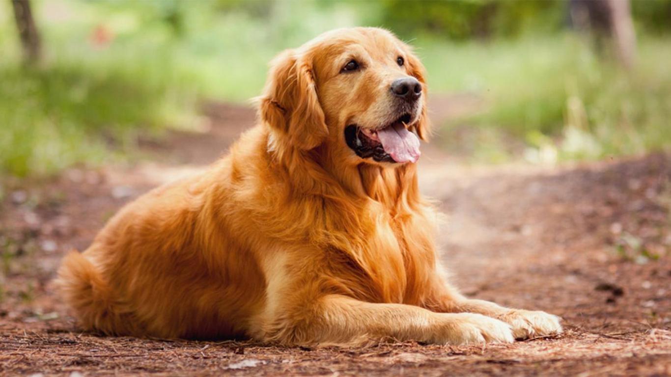 harga anjing golden