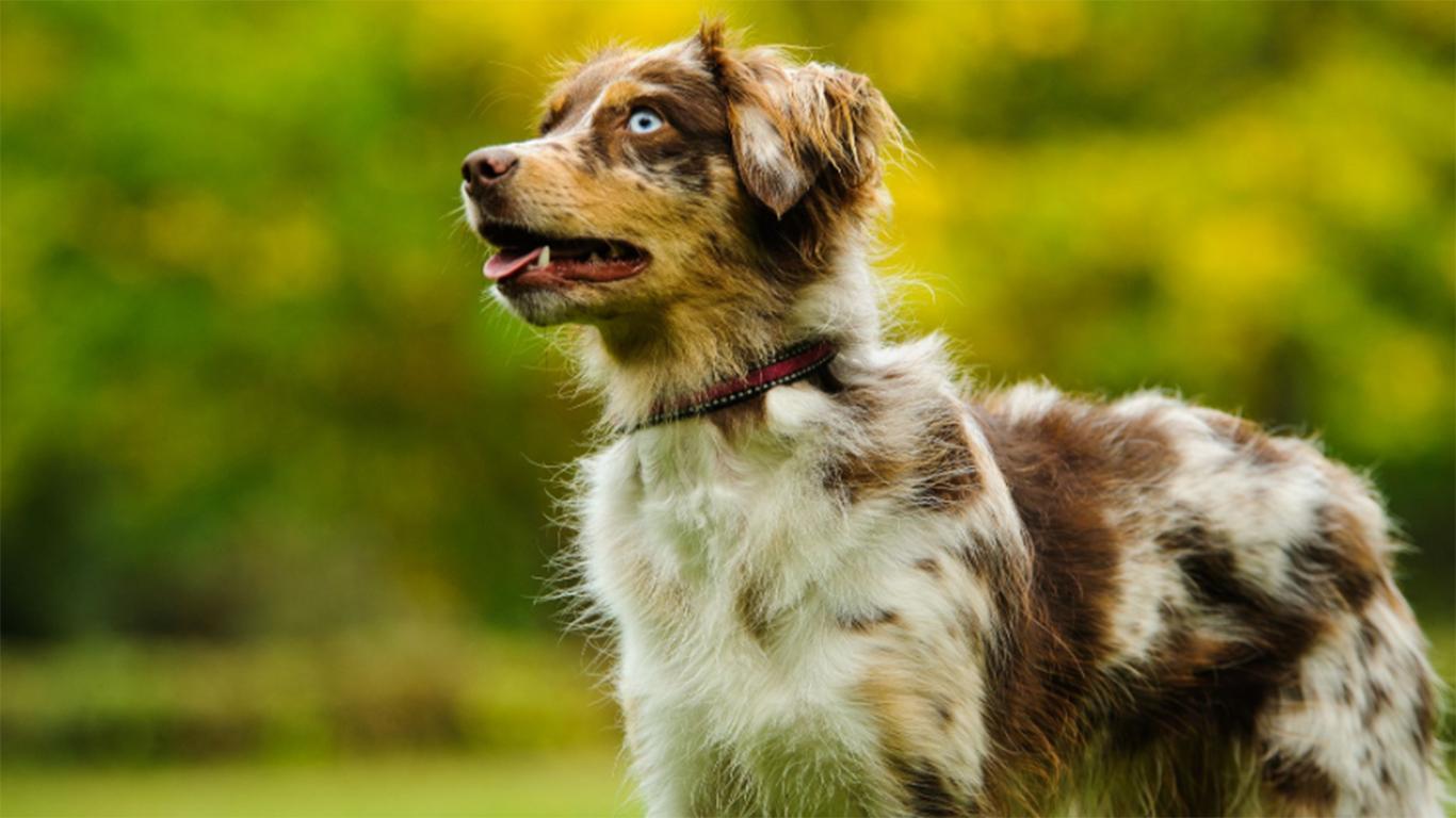 harga anjing herder