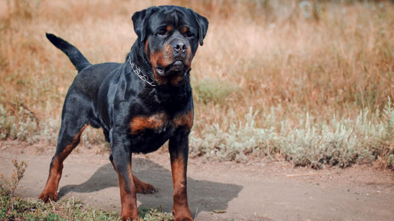 harga anjing rottweiler