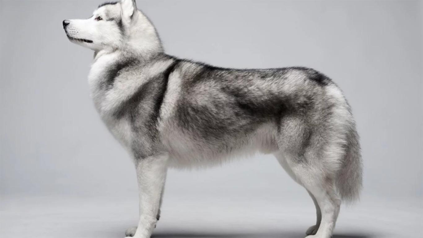 Anjing Siberian Husky Harga Cara Merawat Makanan