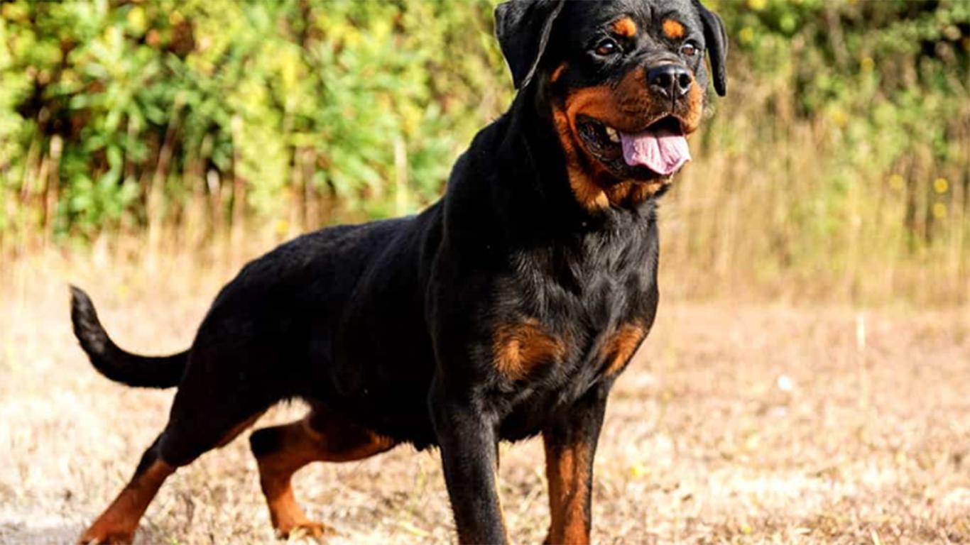 jenis anjing rottweiler