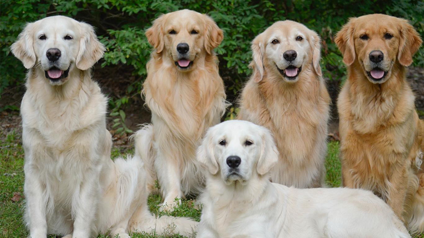 jual anjing golden