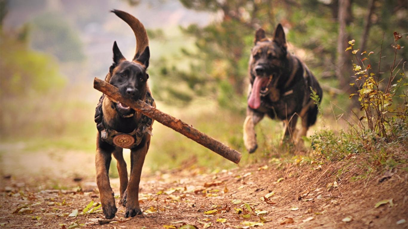 jual anjing herder