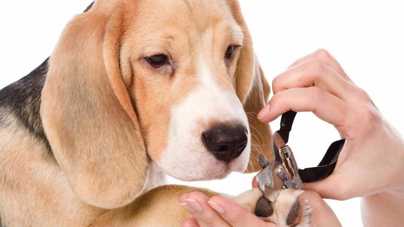 karakter anjing beagle