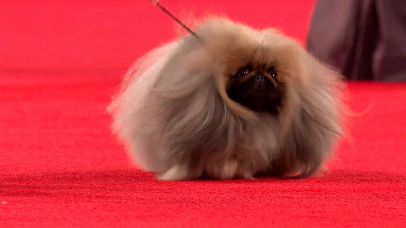 karakter anjing peking
