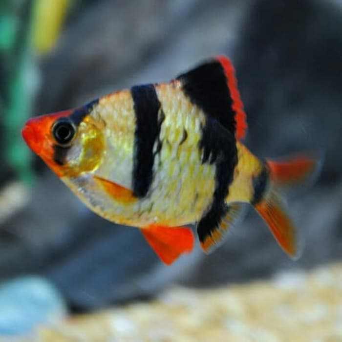 difficulty raising clown fish
