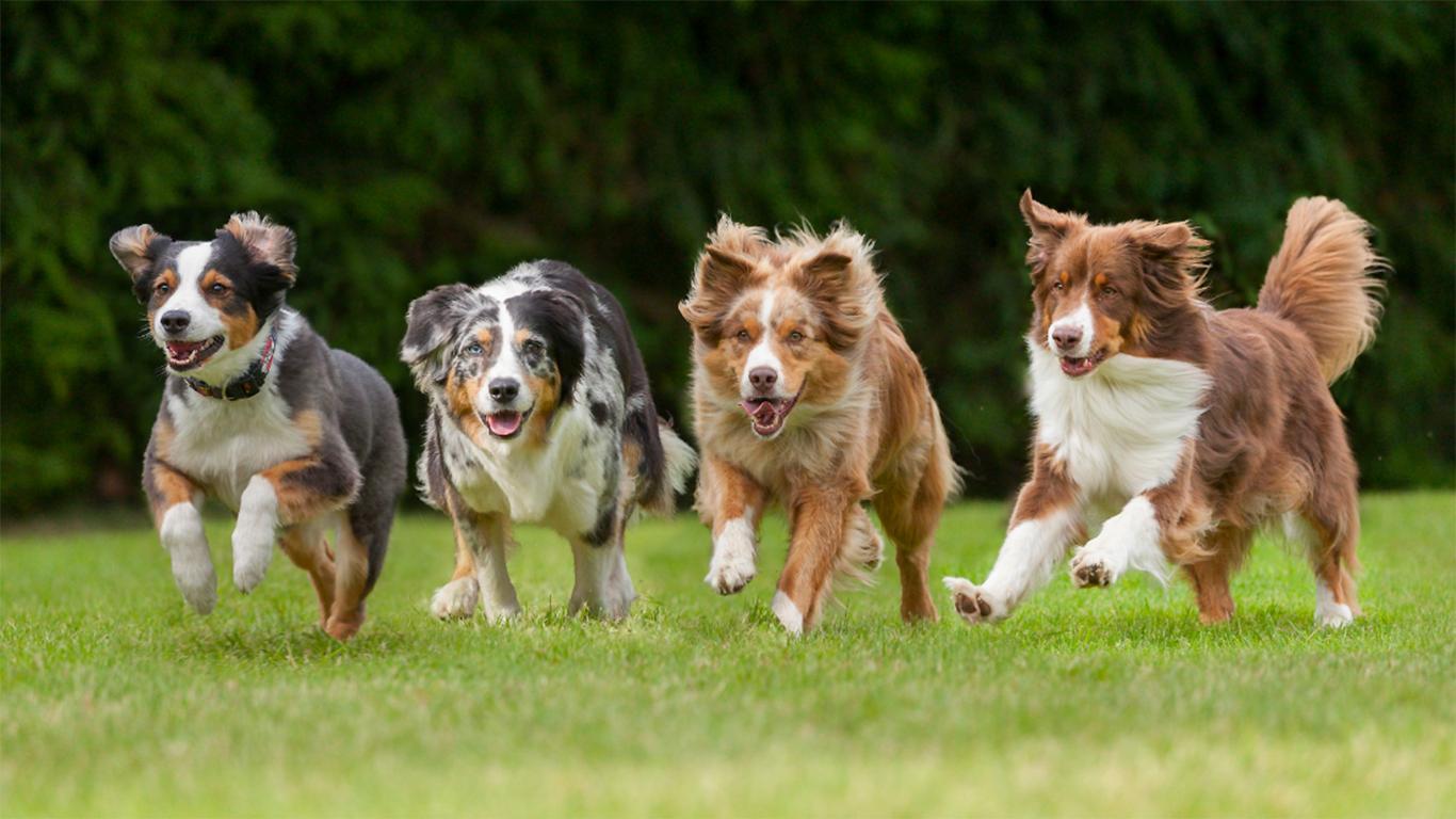 Anjing Herder Harga Jenis Cara Merawat Makanan