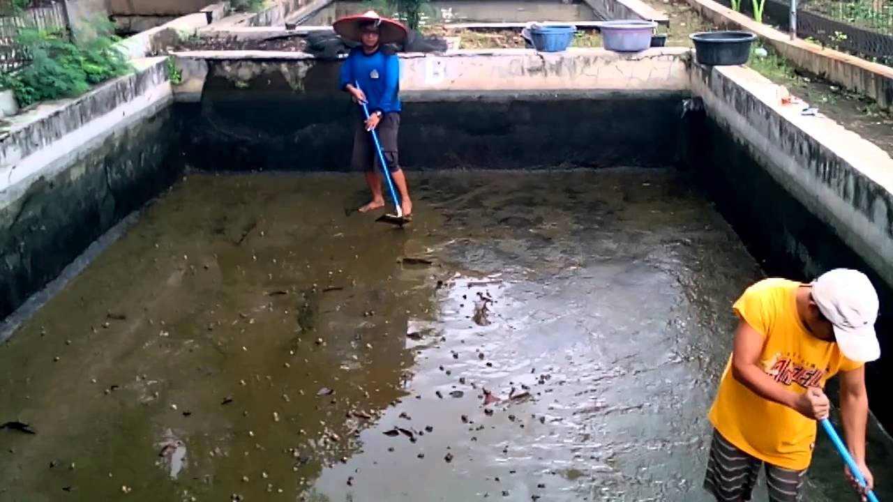 membersihkan kolam ikan