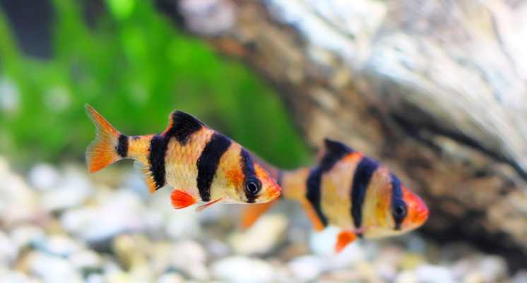differences in male and female Sumatran fish