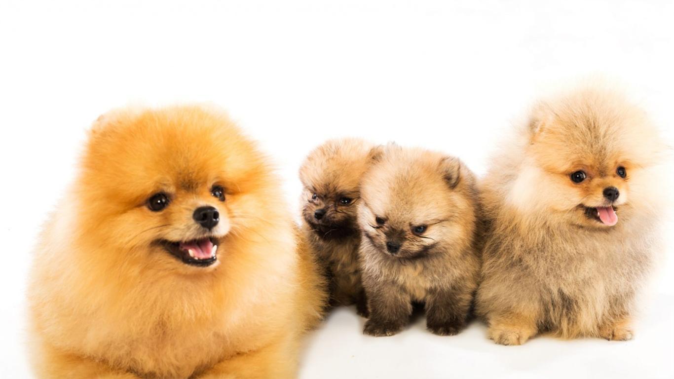 pomernian puppy