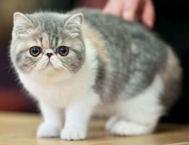 How to Take Care of an Exotic Shorthair Cat