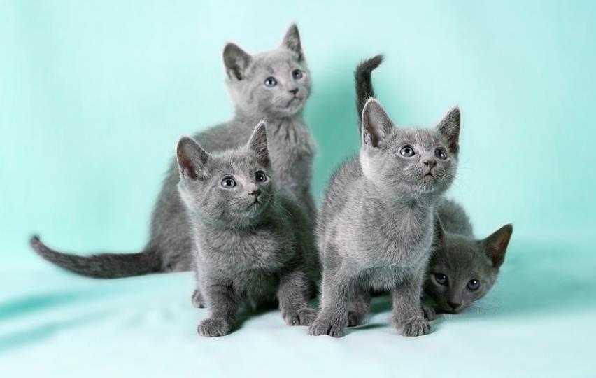 Cara Merawat Kucing Russian Blue
