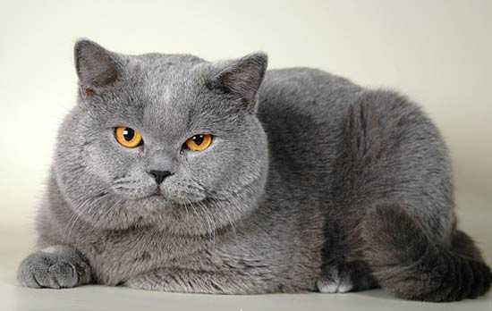 Ciri-Ciri Kucing British Shorthair