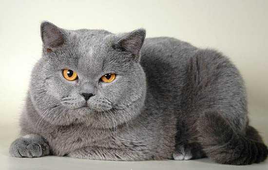 Ciri-Ciri Kucing British Shorthair