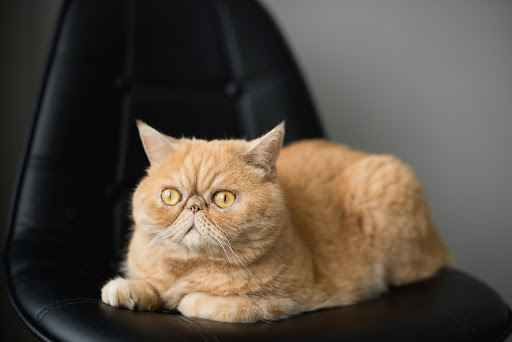 The characteristics of the Exotic Shorthair