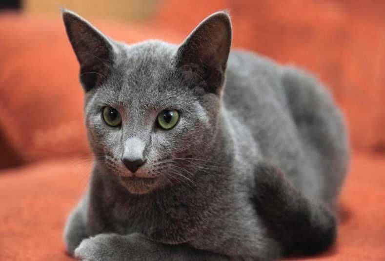 Ciri-Ciri Kucing Russian Blue
