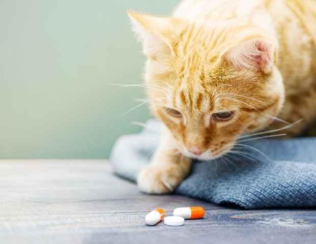 Daftar Rekomendasi Obat Kucing