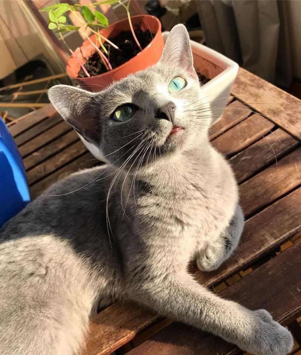Fakta Unik Kucing Russian Blue