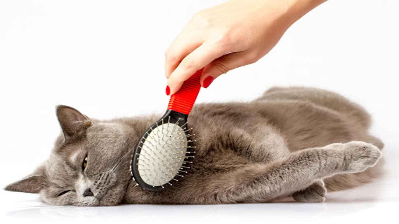 Grooming Kucing