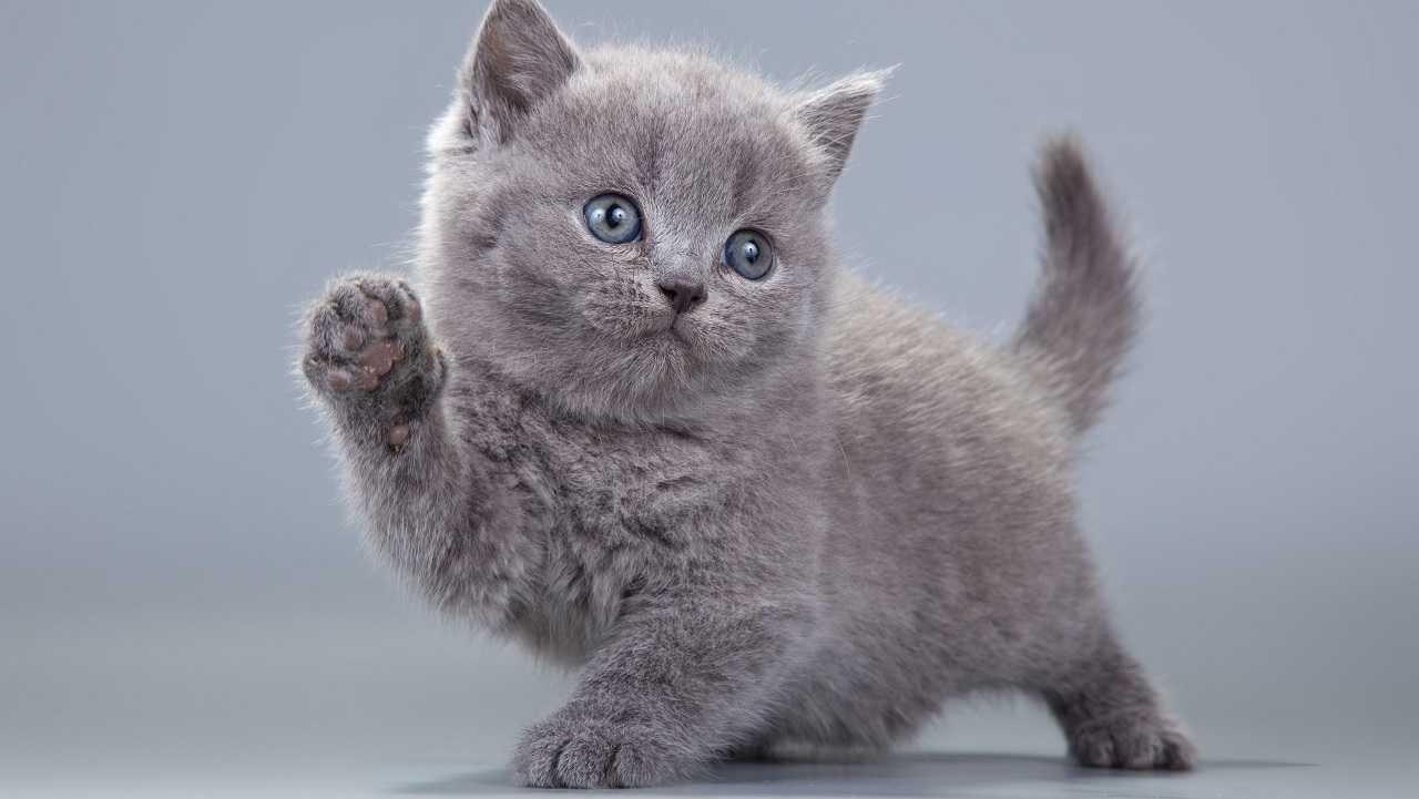 British Shorthair Cat Prices