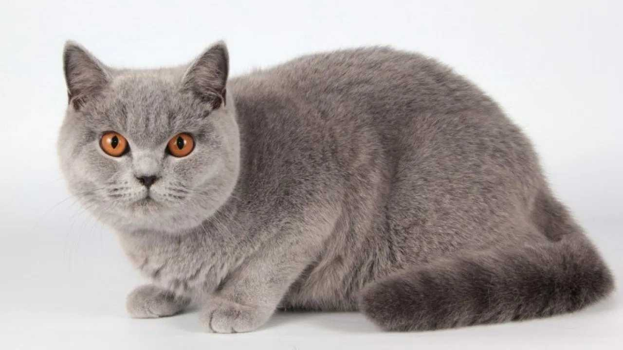 The British Shorthair's conclusion