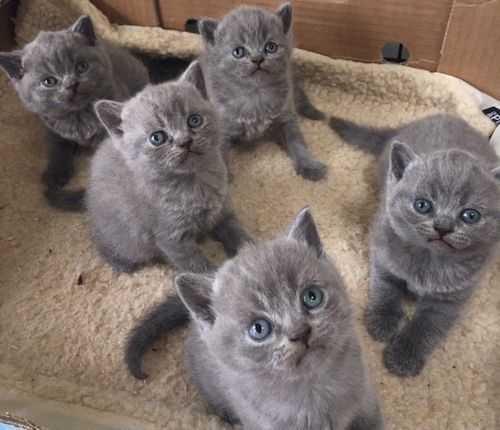 Perkiraan Biaya Perawatan Kucing British Shorthair