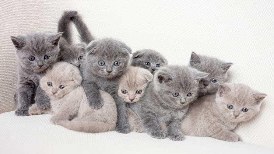 Sejarah Kucing British Shorthair