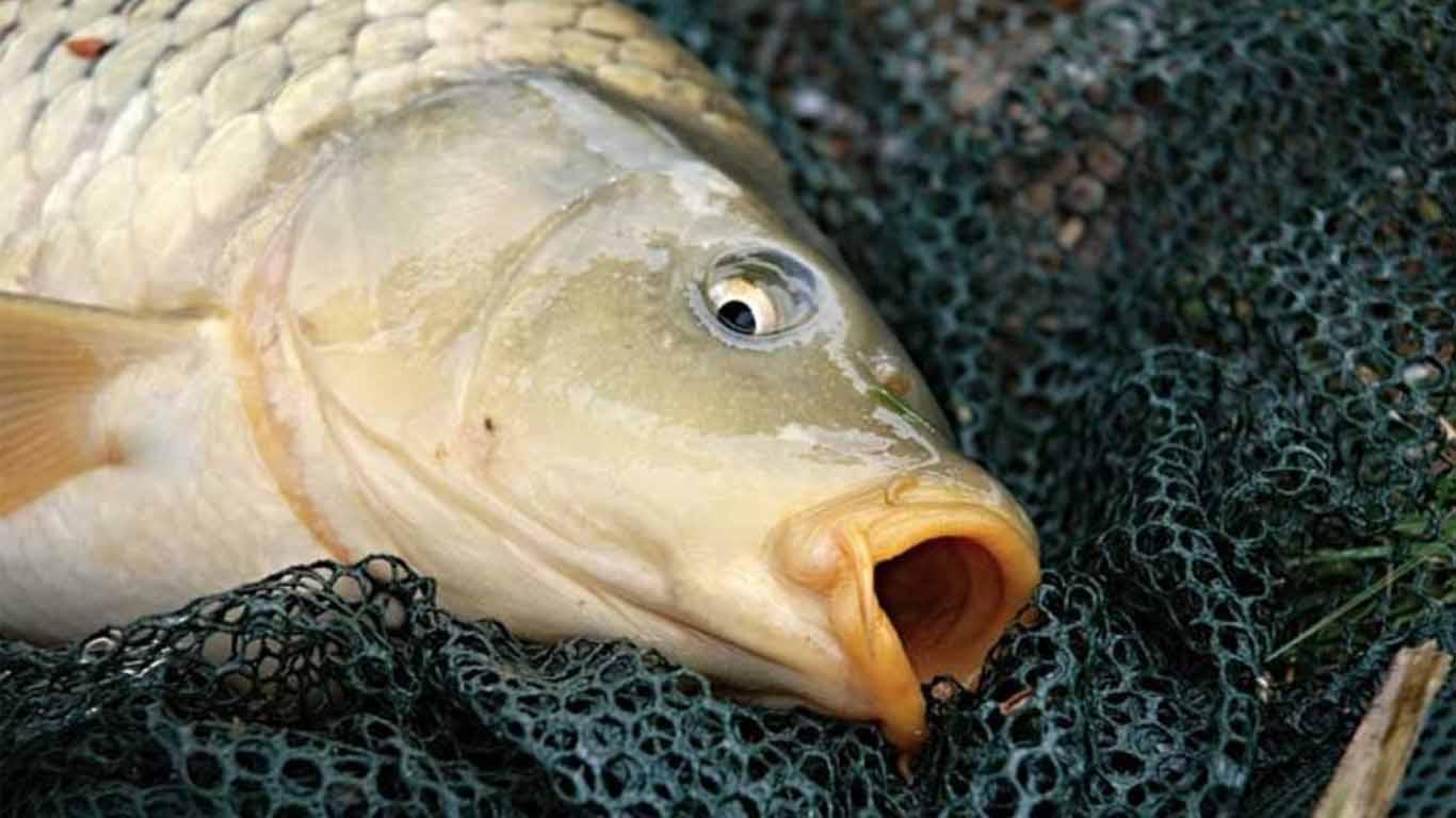 15 Racikan Rahasia Umpan Ikan Mas Paling Jitu 2021