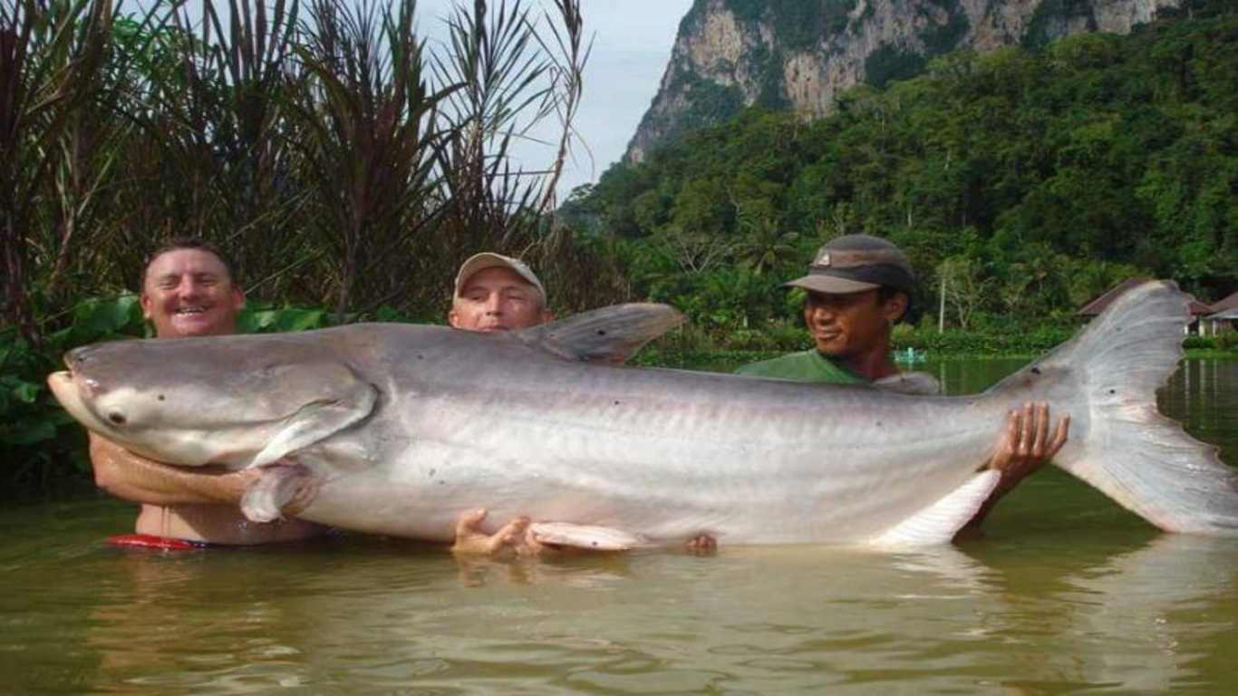 15 Racikan Rahasia Umpan Ikan Patin Paling Jitu 2021