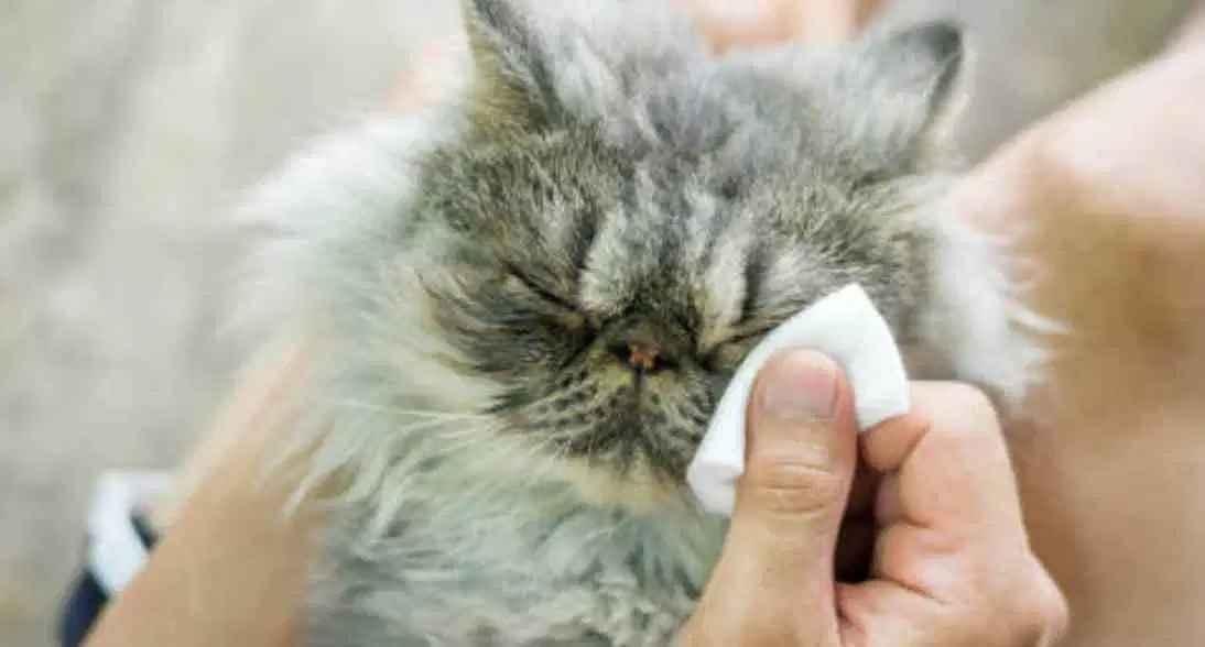 bersihkan ingus kucing