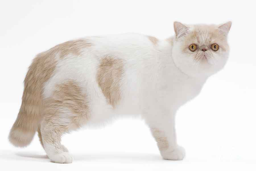 exotic shorthair care costs