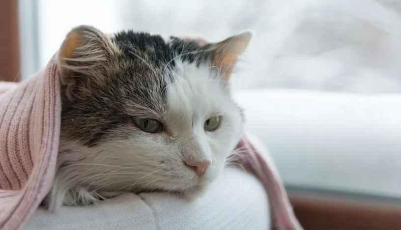 penyebab kucing flu