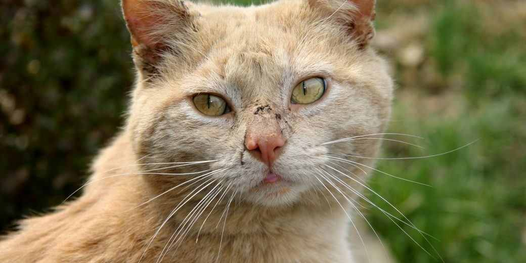 causes of scabies in cats