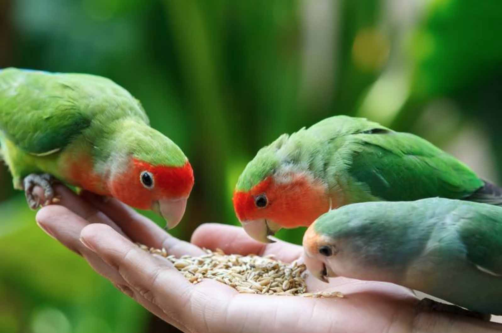 Kasih makan burung Lovebird