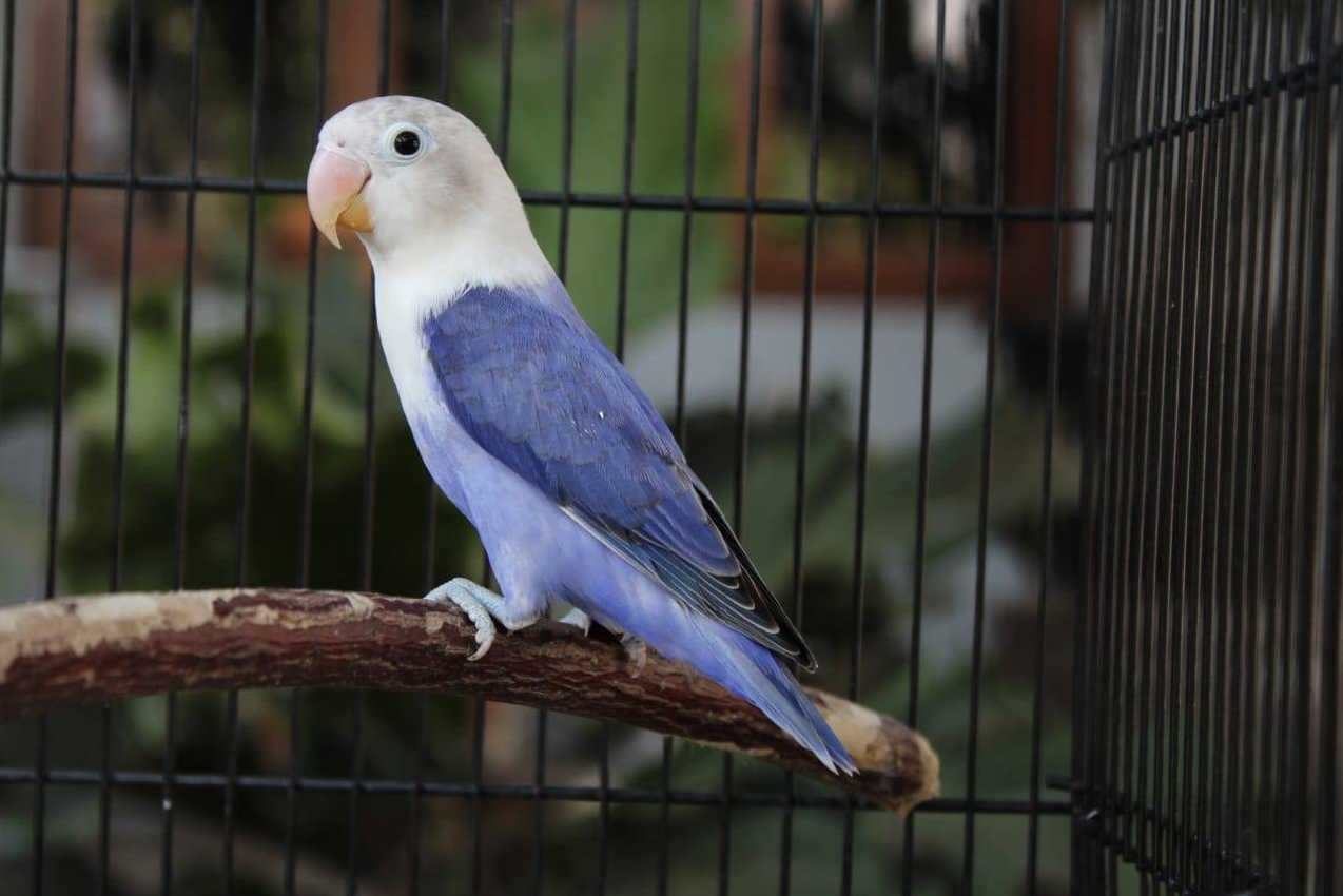 Burung Lovebird Violet