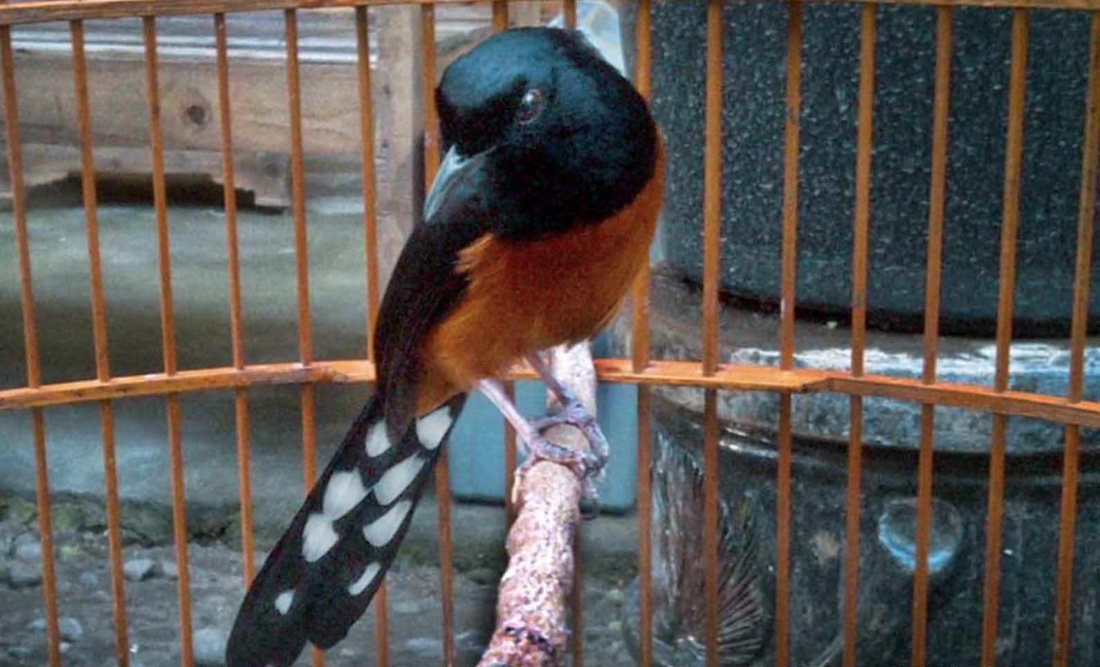 Burung Murai Batu Filipina