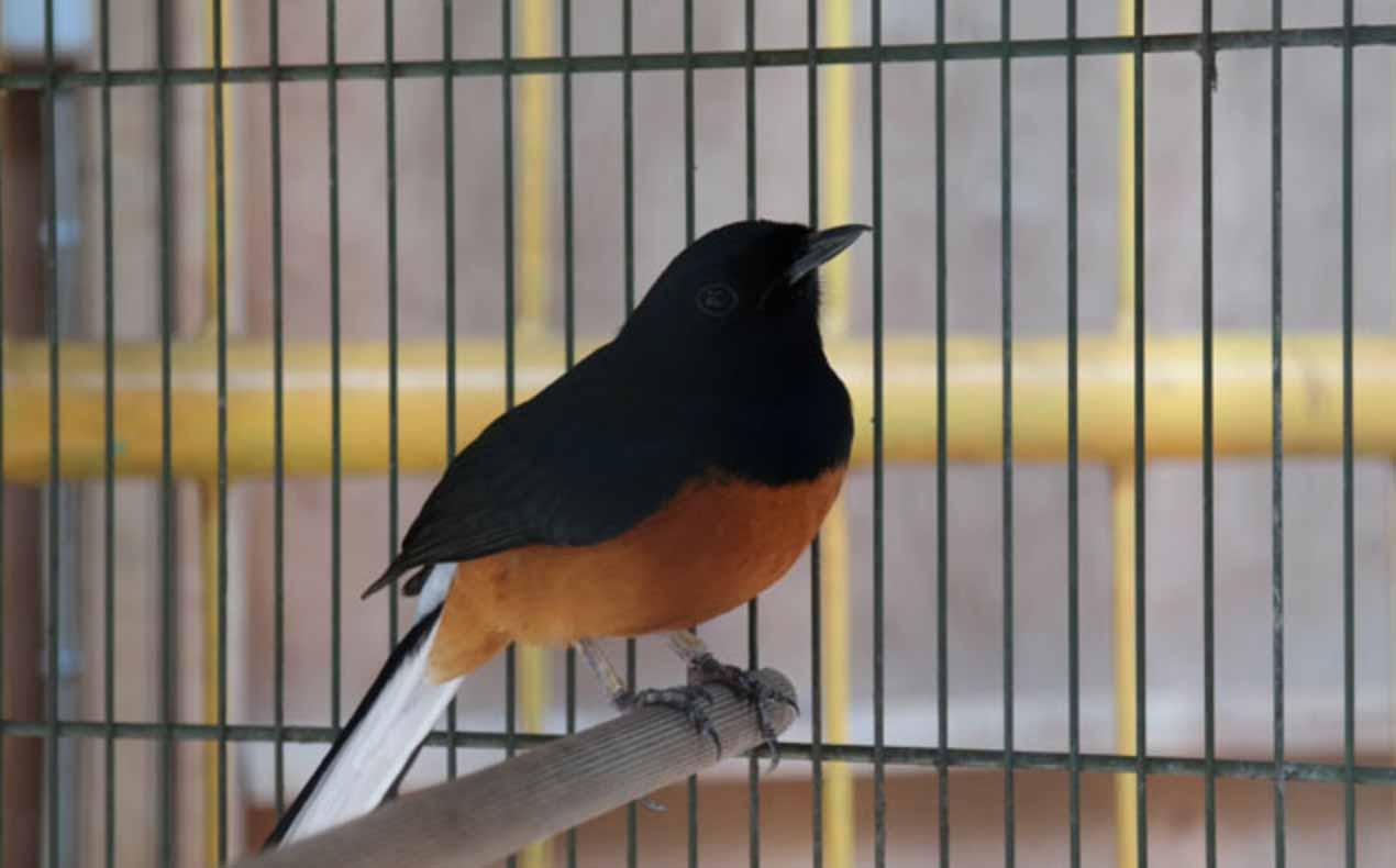 Burung Murai Batu Jawa